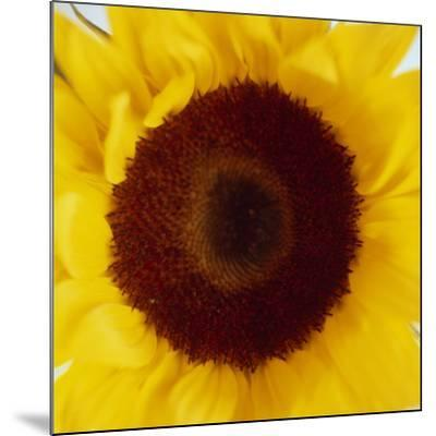 Sunflower (Helianthus Annuus)-Cristina-Mounted Photographic Print