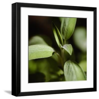 Sage (Salvia Officinalis)-Cristina-Framed Photographic Print