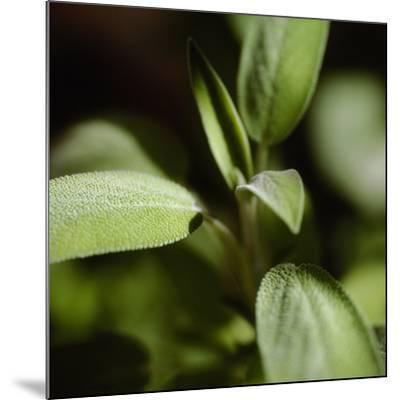 Sage (Salvia Officinalis)-Cristina-Mounted Photographic Print