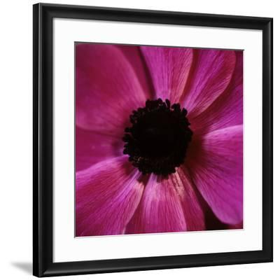 Anemone Flower (Anemone Sp.)-Cristina-Framed Photographic Print