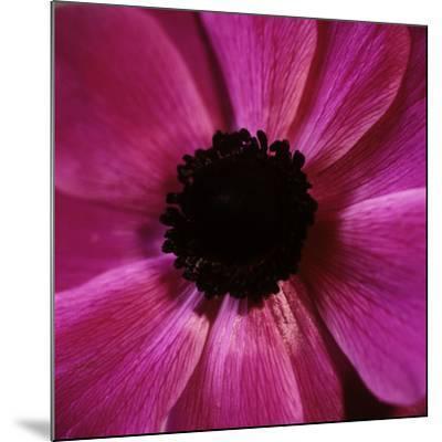 Anemone Flower (Anemone Sp.)-Cristina-Mounted Photographic Print