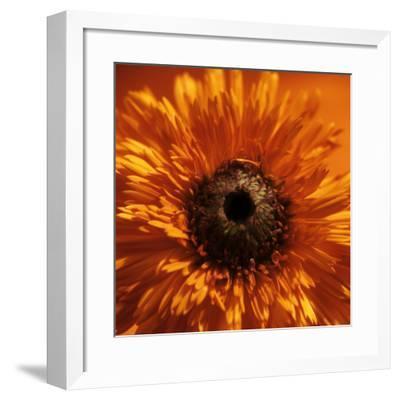 Marigold (Calendula Officinalis)-Cristina-Framed Photographic Print
