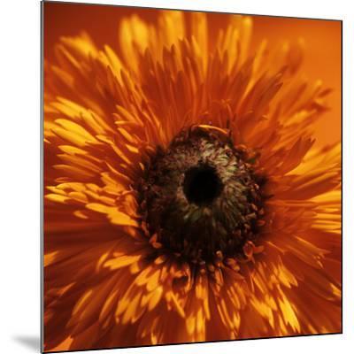 Marigold (Calendula Officinalis)-Cristina-Mounted Photographic Print