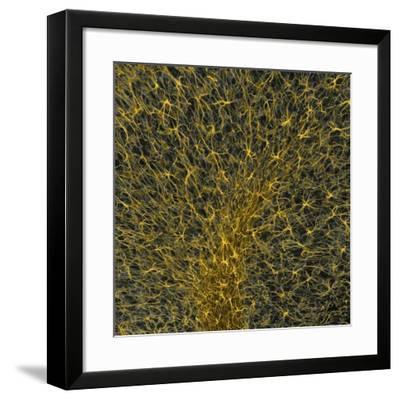 Glial Cells, Confocal Light Micrograph-Thomas Deerinck-Framed Photographic Print