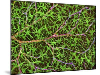 Retina Blood Vessel And Nerve Cells-Thomas Deerinck-Mounted Photographic Print