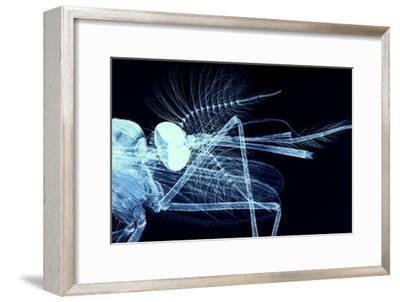 Male Mosquito Head, Light Micrograph-Steve Gschmeissner-Framed Photographic Print
