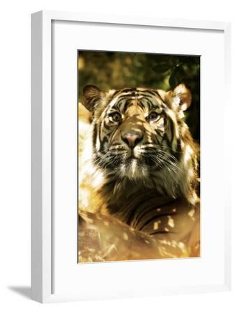 Siberian Tiger-Victor Habbick-Framed Photographic Print