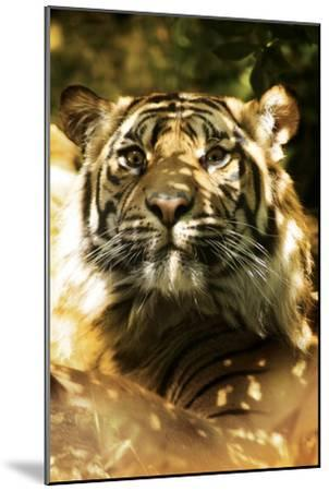 Siberian Tiger-Victor Habbick-Mounted Photographic Print