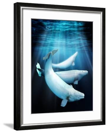 Beluga Whales, Artwork-Victor Habbick-Framed Photographic Print