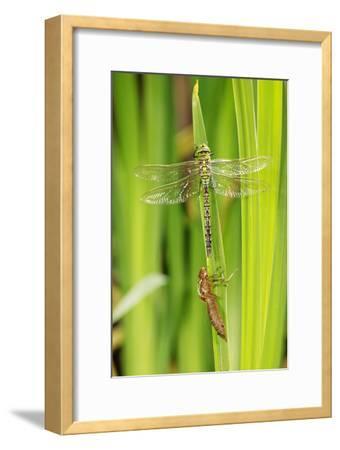 Emperor Dragonfly Metamorphosis-Andy Harmer-Framed Photographic Print