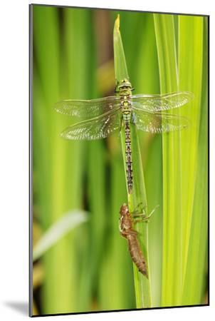 Emperor Dragonfly Metamorphosis-Andy Harmer-Mounted Photographic Print