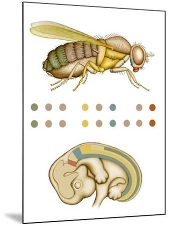 Fruit Fly And Fetus Genetic Similarities-Mikkel Juul-Mounted Photographic Print
