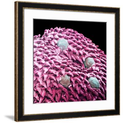 Human Tongue Surface, SEM-Science Photo Library-Framed Photographic Print