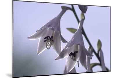 Plantain Lily Flowers (Hosta Sp.)-Dr. Nick Kurzenko-Mounted Photographic Print