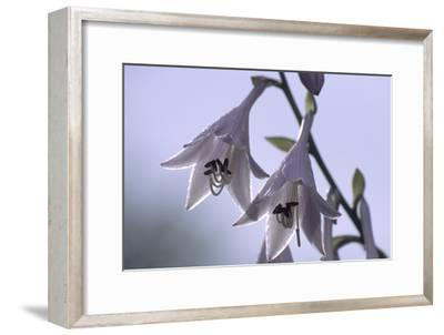 Plantain Lily Flowers (Hosta Sp.)-Dr. Nick Kurzenko-Framed Photographic Print