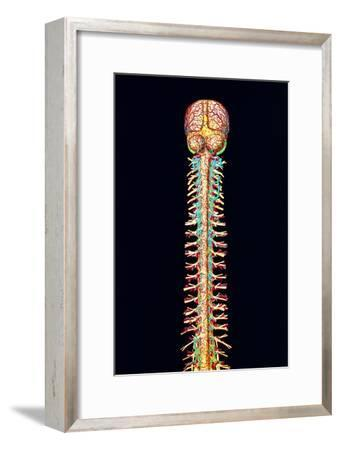 Illustration of the Human Spinal Cord And Brain-Mehau Kulyk-Framed Photographic Print