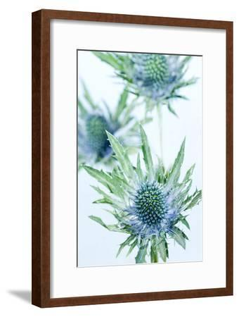 Sea Holly (Eryngium Sp.)-Lawrence Lawry-Framed Photographic Print