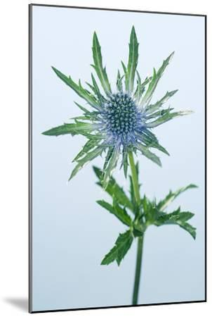 Sea Holly (Eryngium Sp.)-Lawrence Lawry-Mounted Photographic Print