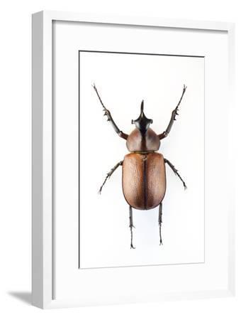 Rhinoceros Beetle-Lawrence Lawry-Framed Photographic Print