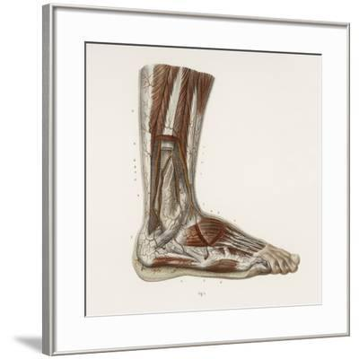 Foot Anatomy, 19th Century Illustration-Science Photo Library-Framed Photographic Print
