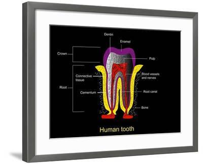 Human Tooth Anatomy, Diagram-Francis Leroy-Framed Photographic Print