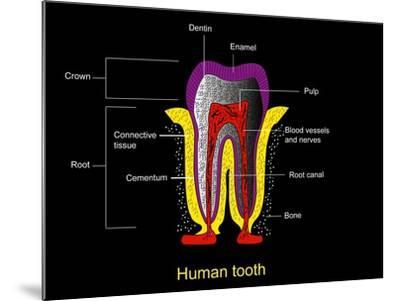 Human Tooth Anatomy, Diagram-Francis Leroy-Mounted Photographic Print