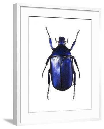 Torynorrhina Flower Beetle-Lawrence Lawry-Framed Photographic Print