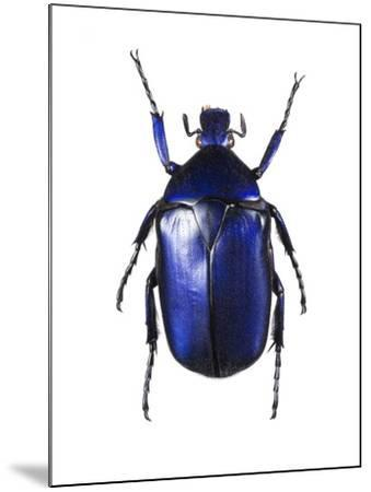Torynorrhina Flower Beetle-Lawrence Lawry-Mounted Photographic Print
