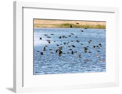 Flock of Red-winged Blackbirds-Bob Gibbons-Framed Photographic Print