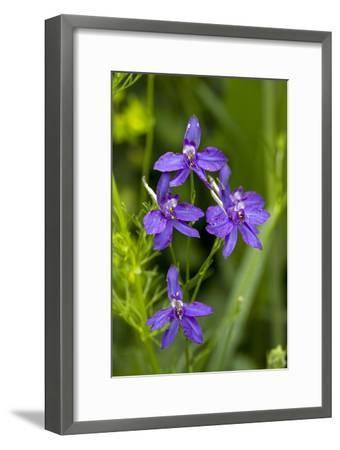 Forking Larkspur (Consolida Regalis)-Bob Gibbons-Framed Photographic Print