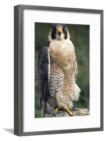 Peregrine Falcon-Bob Gibbons-Framed Photographic Print