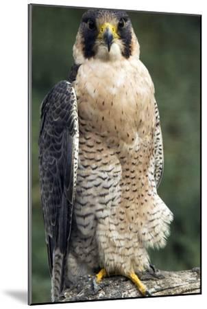Peregrine Falcon-Bob Gibbons-Mounted Photographic Print