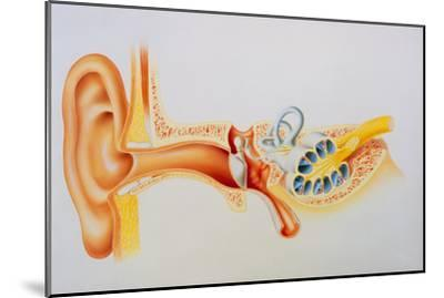 Illustration of the Anatomy of the Human Ear-David Gifford-Mounted Photographic Print