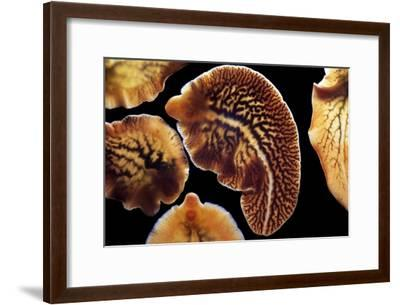 Liver Flukes, Macro Photograph-Sinclair Stammers-Framed Photographic Print