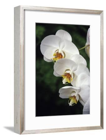 Orchid Flowers-Duncan Smith-Framed Photographic Print