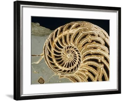Fossilized Shell of Nautilus Striatus-Sinclair Stammers-Framed Photographic Print