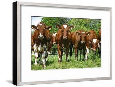 Calves-Bjorn Svensson-Framed Photographic Print