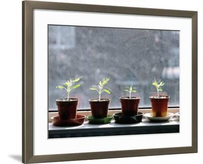 Tomato Plants Growing In a Growbag-Bjorn Svensson-Framed Photographic Print