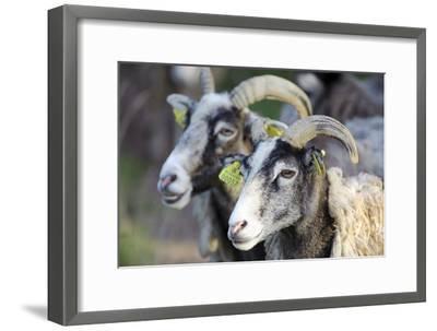 Sheep From Gotland, Sweden-Bjorn Svensson-Framed Photographic Print