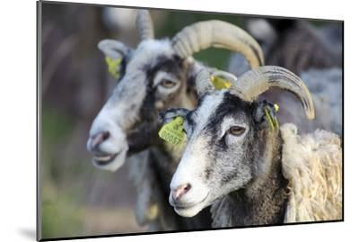 Sheep From Gotland, Sweden-Bjorn Svensson-Mounted Photographic Print