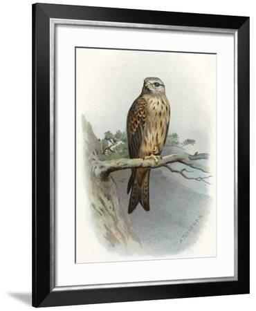 Red Kite, Historical Artwork-Sheila Terry-Framed Photographic Print