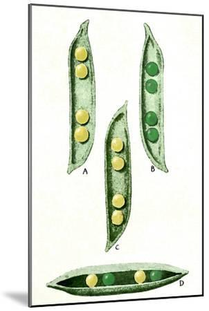 Mendel's Peas-Sheila Terry-Mounted Photographic Print