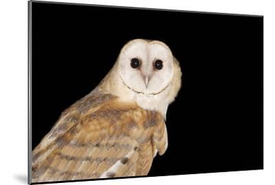 Barn Owl At Night--Mounted Photographic Print