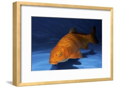 Ginrin Chagoi Ko--Framed Photographic Print