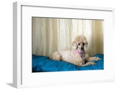 Miniature Poodle--Framed Photographic Print