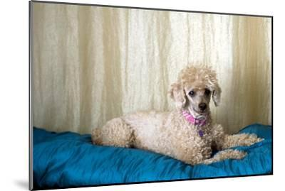 Miniature Poodle--Mounted Photographic Print