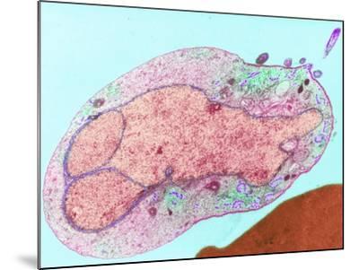 Malaria Parasite, TEM--Mounted Photographic Print