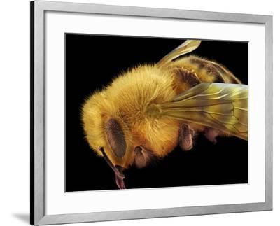 Honey Bee, SEM-David McCarthy-Framed Photographic Print