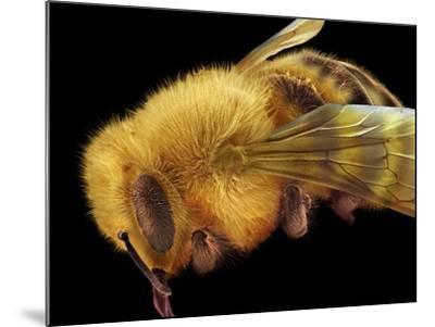 Honey Bee, SEM-David McCarthy-Mounted Photographic Print