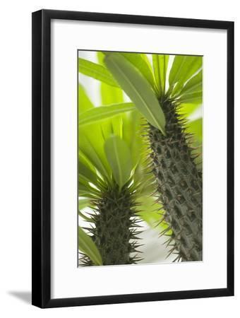 Pachypodium Lamerei-Maria Mosolova-Framed Photographic Print